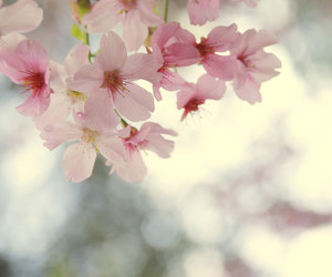 cherry blossom and redbubble image