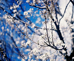 blossoms, cherry blossom, and spring image