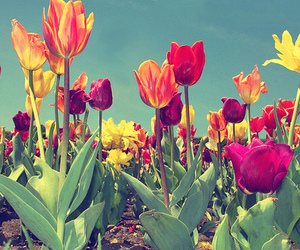 flowers, tulips, and colorful image