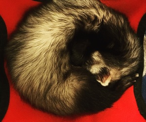 ferret, relax, and sleep image