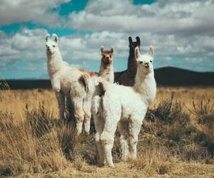 llama and alpaca image