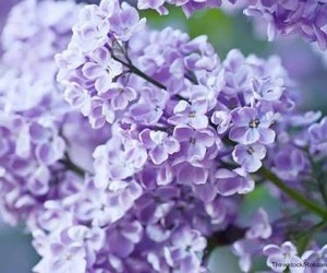 aesthetic, flowers, and lavender image