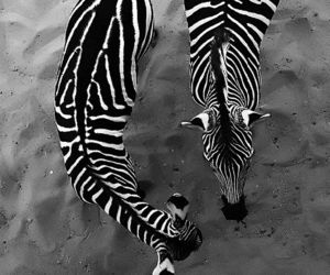 zebra, animal, and black and white image