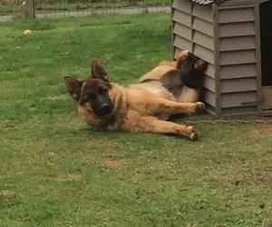 dog, german, and shepherd image