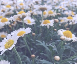 daisy, flowers, and aesthetic image