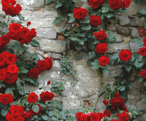 aesthetic, red, and red roses image