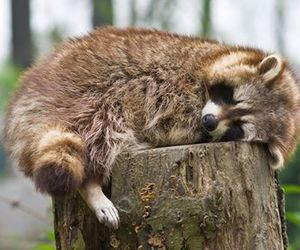 baby animals, cute animals, and racoon image