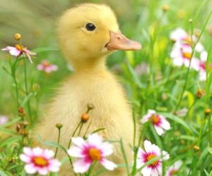 spring, duckling, and flowers image