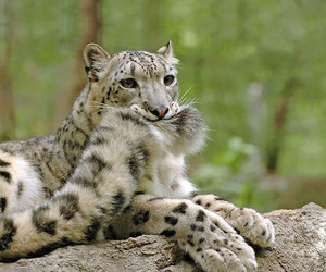 animal, snow leopard, and tail image