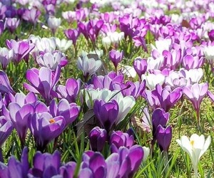 crocus, flower, and nature image