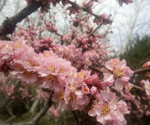 cherry blossom, flower, and spring time image