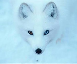 fox and eyes image