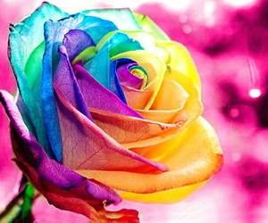 colors, rose, and flowers image