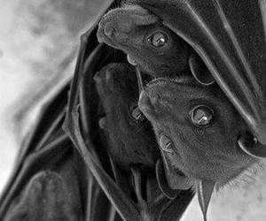 animal, dark, and bat image