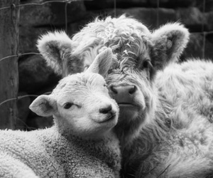 animal rights, sheep, and animals image