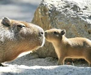 capybara and animal image