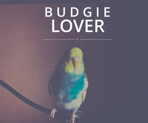bird, blue, and budgie image