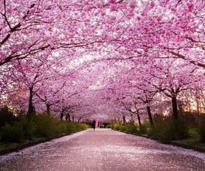 cherry blossom, gorgeous, and pink image