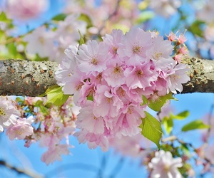 cherry blossom, spring, and pink image