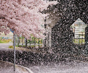japan, sakura, and pink image