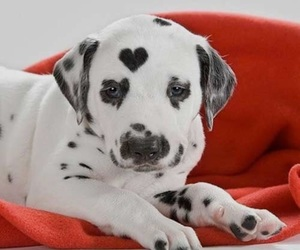 puppy, adorable, and dalmatiner image