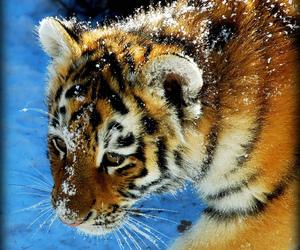 animal, tigri, and animals image
