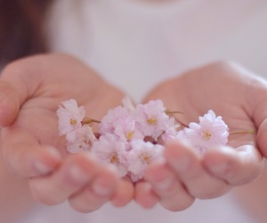 cherry blossom and spring image