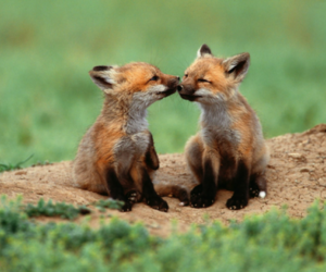 foxes, whoknows, and puppies image