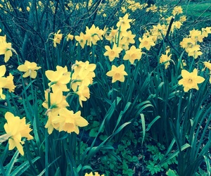 daffodils, flowers, and spring image