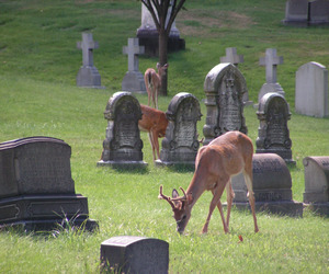 cemetery and deer image