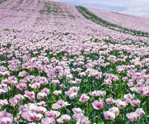 field, flowers, and pink image