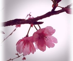 flower, pink, and 花 image