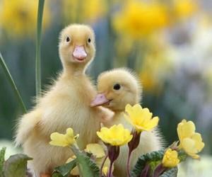 bird, duck, and duckling image