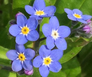 flower and forget-me-not image