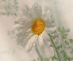 daisies, daisy, and floral art image