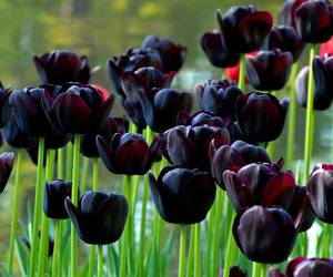 black tulips, flowers, and plants image