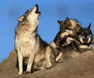 photography, photos, and wolves image