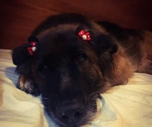 beautiful, dog, and pastor alemão image