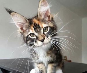 cat, wild, and cute image