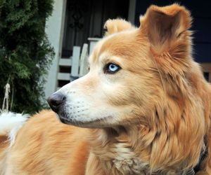 dog, golden retriever, and animal image