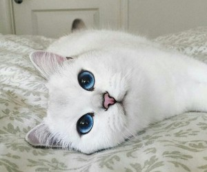 blanco, cat, and cute image