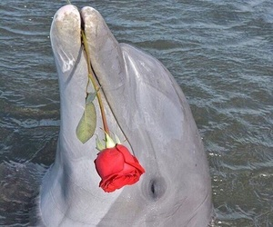 rose, dolphin, and aesthetic image