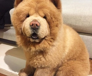 bear, chow chow, and chowder image