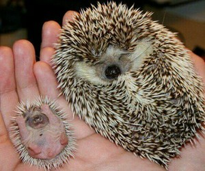 animal, hedgehog, and baby image