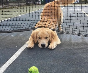 dog, tennis, and cute image