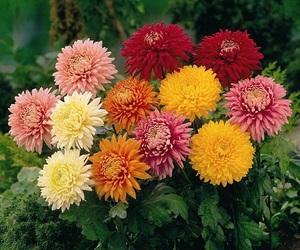chrysanthemum image