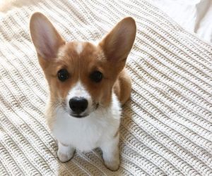 adorable, corgi, and dog image