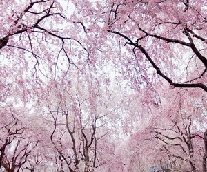 beauty, cherry, and cherry blossom image