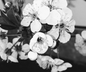 flower, spring, and black and white image