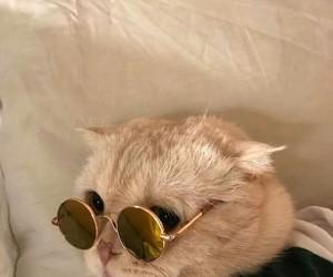 cat, sunglasses, and glasses image